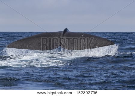 sperm whale tail before diving into the water on a sunny day