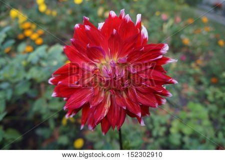 Dahlia scarlet flower with white tips .