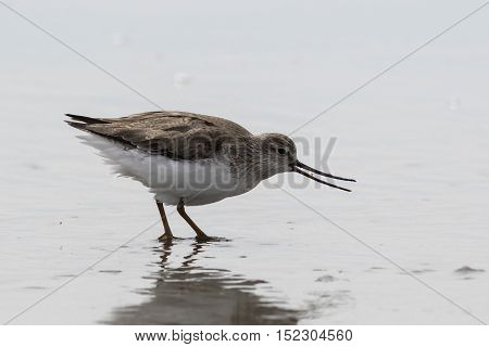 Terek Sandpiper eats crustacean on the Pacific coast in the spring afternoon