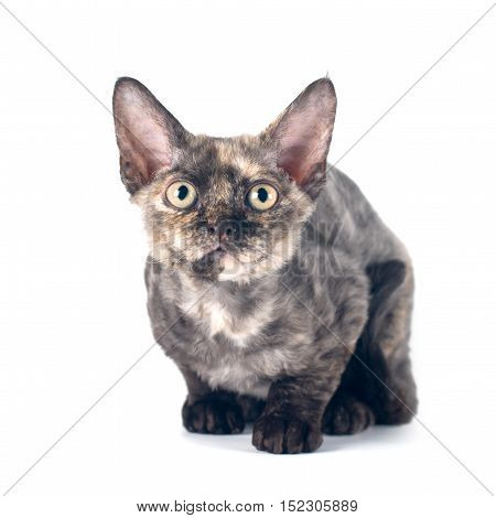 Devon rex purebrebred cat on white background