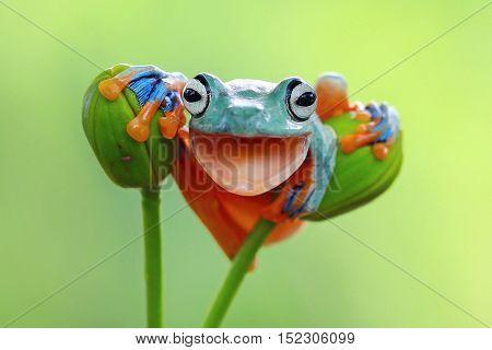 Tree frog, java tree frog laugh on dry wood