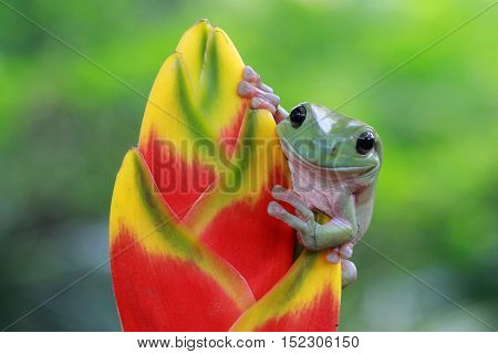Tree frog, dumpy frog is above the tree buds are trying to jump