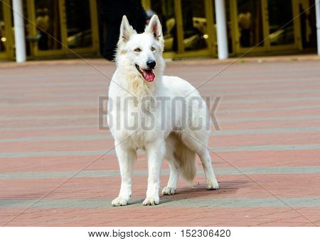 White Swiss Shepherd full face.   The White Swiss Shepherd is in the park.