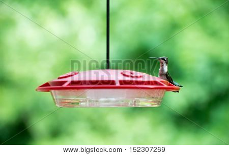 Ruby-throated hummingbird sitting at a nectar feeder
