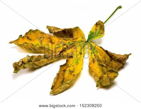 Dried Autumn Leaf Of Chestnut