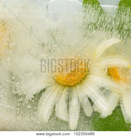 beautiful white-yellow organic abstraction with gentle chamomile flowers fragile frozen in a transparent clear water with air bubbles