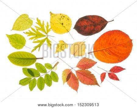 Beautiful bright colorful autumn leaves isolated on white background