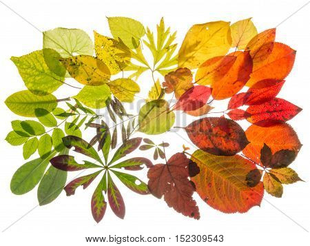 beautiful multi-colored translucent leaves arranged with the transition of color isolated on white background