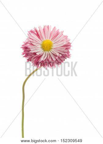 gentle pink-purple bi-color daisy flower with a yellow center on a thin curved long green stem isolated on a white vertical background vertical