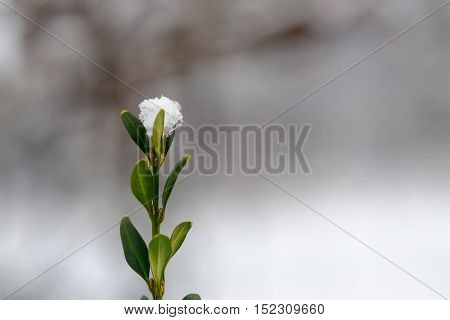 Twig covered with snow. Clean background. Space For Copy