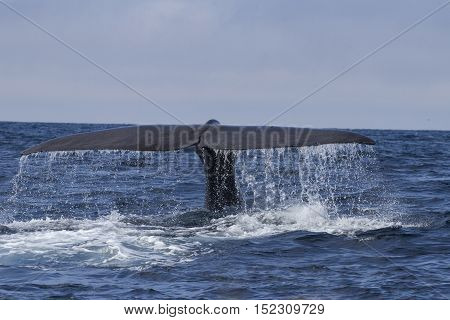 the tail of the sperm whale diving into the water on a sunny day