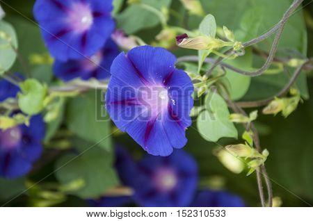 Image full of colorful petunia Petunia hybrida flowers