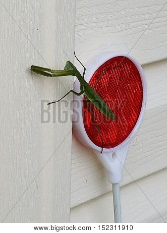 Praying mantis on the side of the house
