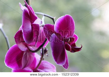 Orhid - beautiful pink flowers at green background