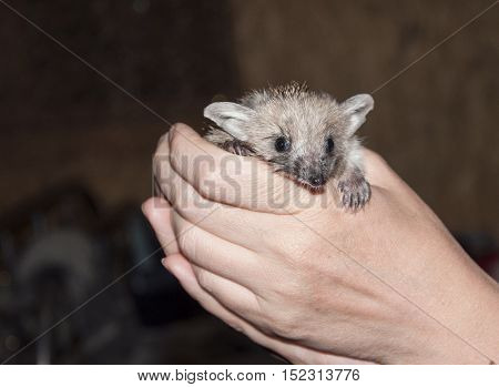 Young hedgehog in the human hands