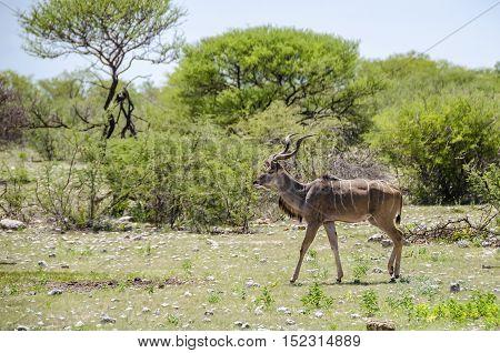 Male greater kudu (Tragelaphus strepsiceros) strutting in Etosha national park Namibia.