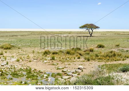 Etosha Pan with green grass and green acacia tree after the rain in january. Etosha National Park Namibia.