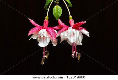 Pollination of fuchsia flower by many flies