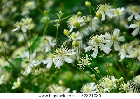 beautiful white flowers in the garden nature