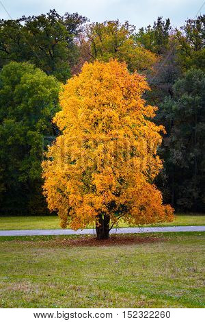 Autumn Fall Season Changing Leaves Contrast Single Oak Tree Alone Forest Independent Orange Yellow R