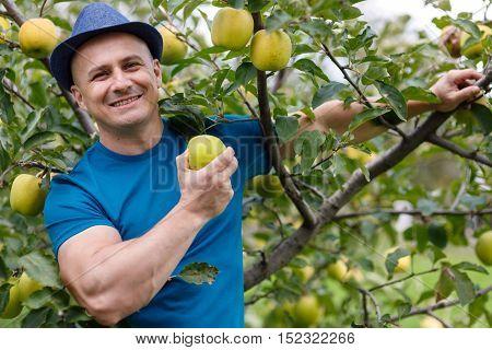Farmer Picking Yellow Apples