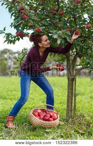 Woman Picking Apples In A Basket