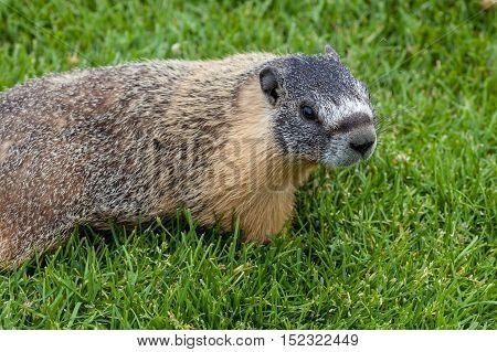 Hoary Marmot (marmota Caligata) Found In Alberta, Canada