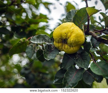 Yellow Ripe Quince On A Branch