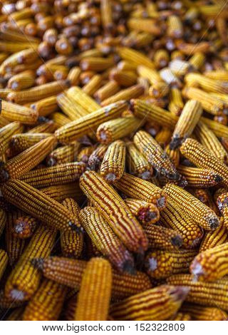 Pilie of yellow corn cobs in a barn
