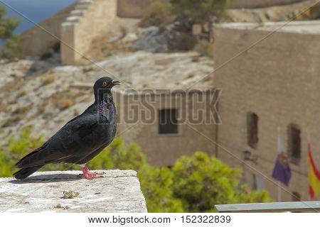 pigeon perched on a stone in santa barbara castle alicante