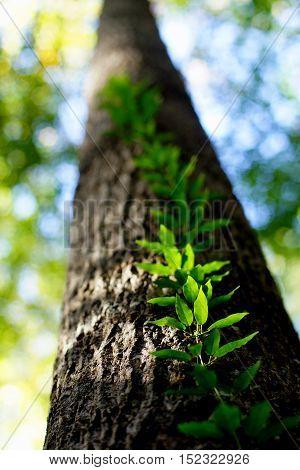 skyward view of vine climbing a tree