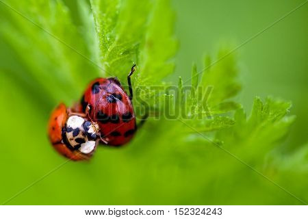 Macro Of Two Mating Ladybugs