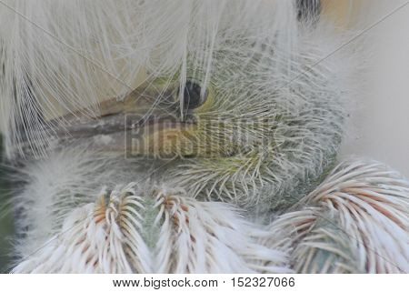 Please note. . . this is a soft focused image due to subject matter.  A newly hatched Snowy Egret snuggled in the down of its mothers feathers.
