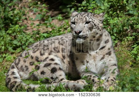 Snow leopard (Panthera uncia). Wildlife animal.