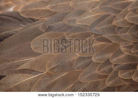 Griffon vulture (Gyps fulvus). Plumage texture.