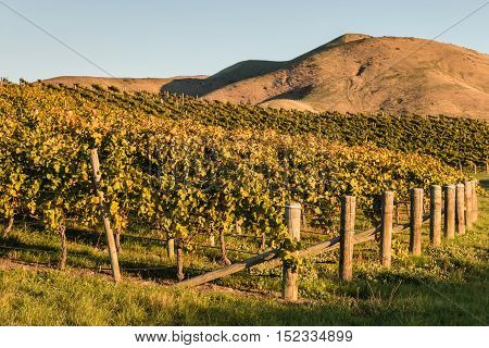 sunset over New Zealand vineyard in autumn