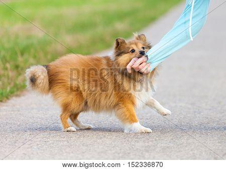Shetland Sheepdog bites in a human hand
