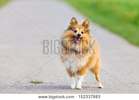 a Shetland Sheepdog stands on a street