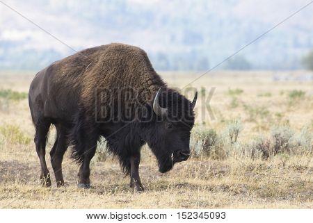 Cow bison on sagebrush flats with mountains