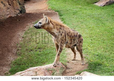 Striped hyena (Hyaena hyaena) with broad head and dark eyes