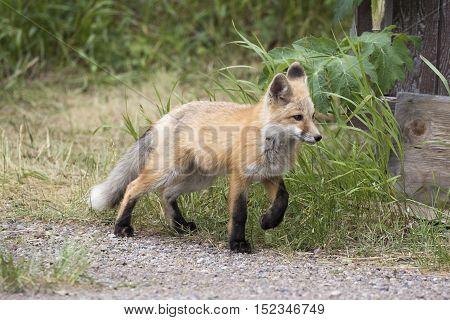 Kit fox in walking grass next to buildling