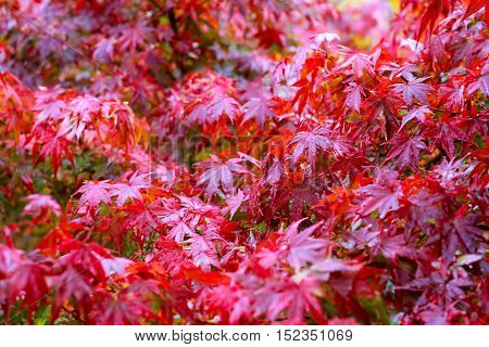 maple leaf Japanese red maple leaf selective focus in the garden abstract background.