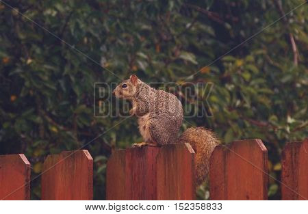 Squirrel perched on fence, neighborhood wildlife, mammal
