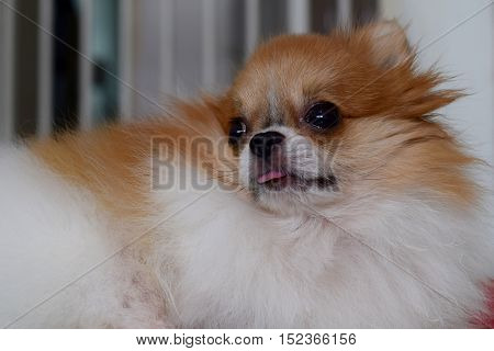 A sad looking pomeranian waiting for his owner in his cage