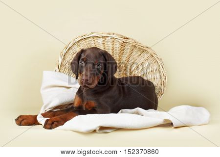 Beautiful purebred brown Doberman puppy is lying on a beige background with a basket and fabrics