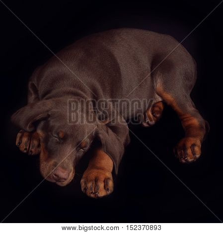 Little brown Doberman puppy sleeping sweetly on a black background his head