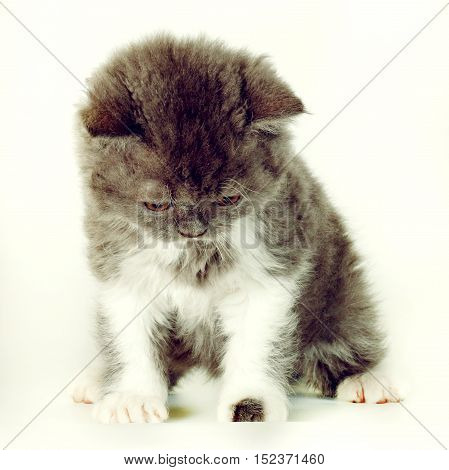 kitten Selkirk Rex on white background gray-white color cute pet for the family
