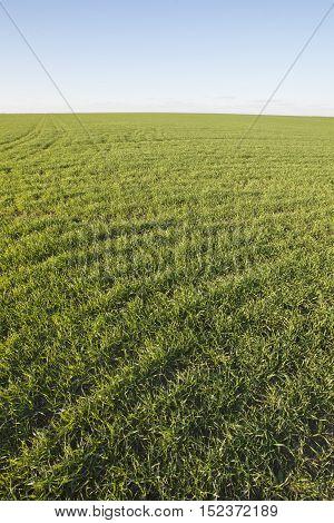 Winter Crops. Green Grass