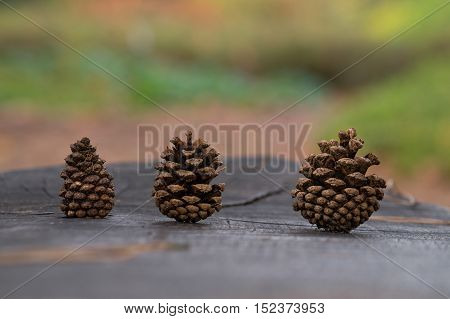 A group of Pine cones in the autumn time. pine cones