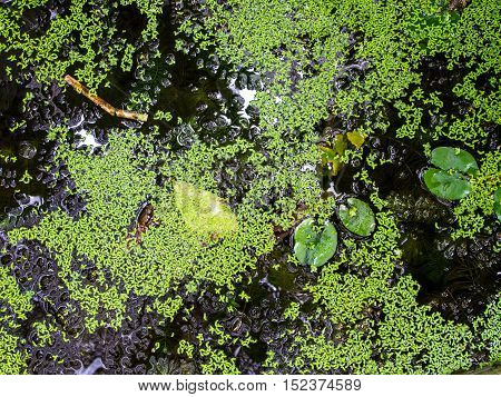 A pond full of duckweeds. Abstract nature background.